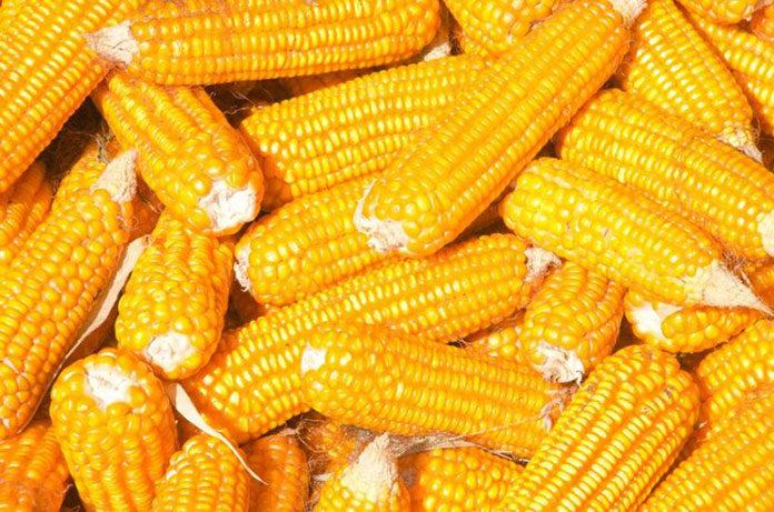 Gotowana kukurydza - smacznie i szybko